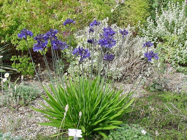 Agapanthus africanus - Agapanthus - Plantengids - Tuincentrum Helsen