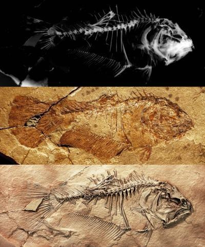 A new fossil discovery finally solves the mystery. The fossil fish, named Heteronectes (meaning 'different swimmer'), was found in 50 million year old marine rocks from northern Italy. This study provides the first detailed description of a primitive flatfish, revealing that the migrated eye had not yet crossed to the opposite side of the skull.  (Credit: Image by M. Friedman)