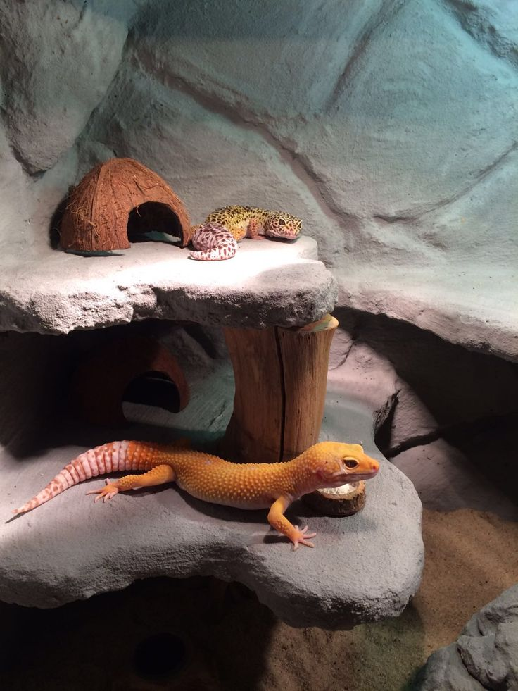 Leopard gecko's                                                                                                                                                                                 More