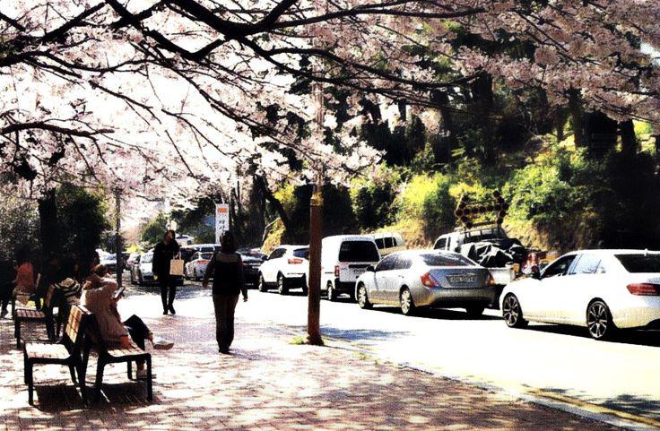 Haeundae-gu: Dalmaji Hill's Cherry Blossom Attraction