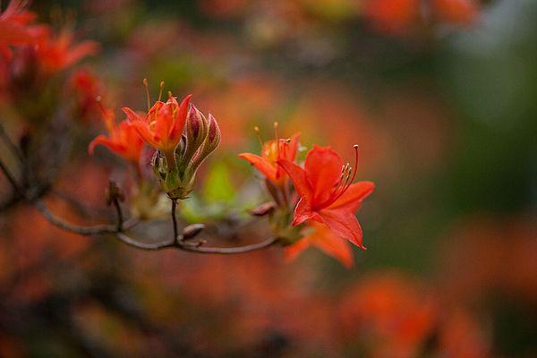 Beautiful Azaleas Blooms in a Garden.  Photography by Mike Reid www.mikereidphotography.com