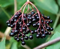 Medicina Naturista: Fructele  de soc pentru tratarea Racelii, Nevralgi...