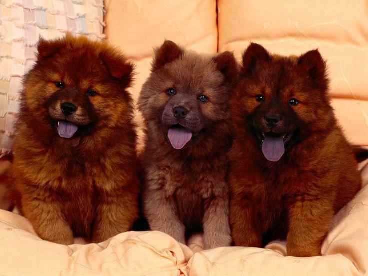 Chow-Chow_7-racas-cachorros-mais-fofos-do-mundo