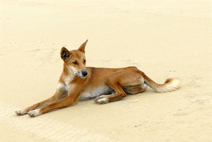 The Other Animals That Look Like Dingo