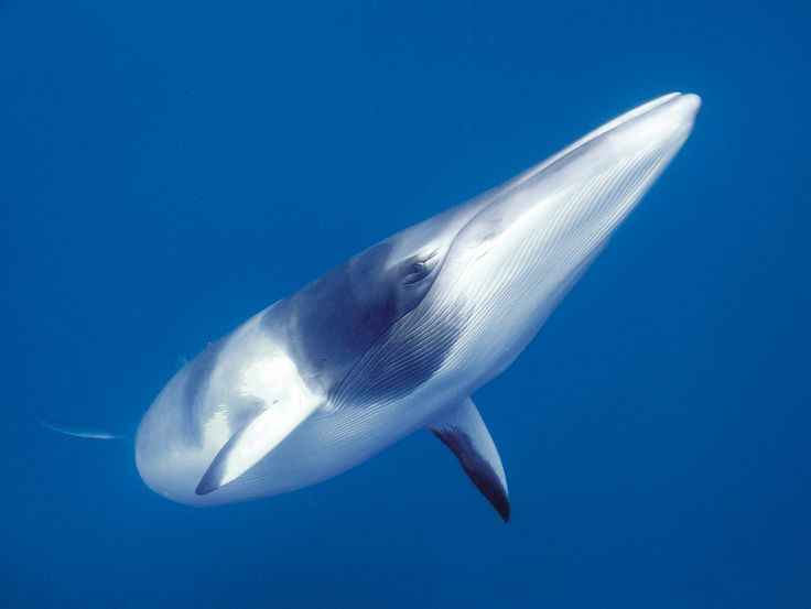 Queensland bucket list | 22. Swim with the elusive yet curious minke whales on a liveaboard off the coast of Port Douglas.