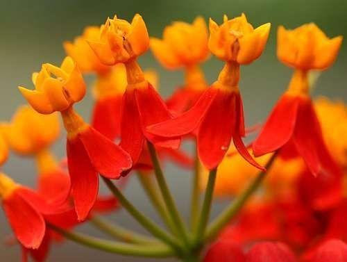 Bloodflowers - Asclepias curassavica - Indianer-Seidenpflanze - 3 Samen
