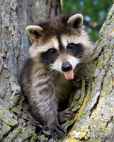 We have a raccoon family living in one of our trees.