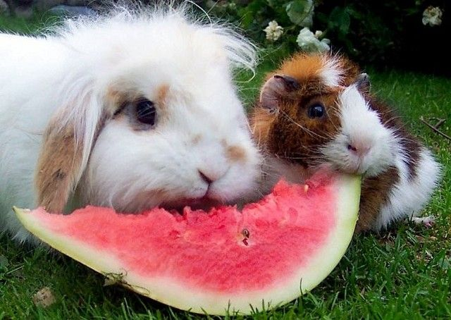 What Do Guinea Pigs Eat | Bergen, Norway (guinea pig rabbit eat watermelon) - a photo by lena