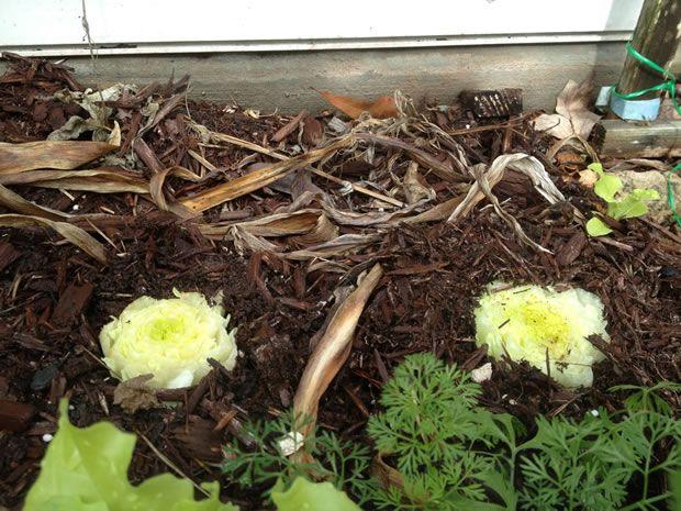 Cultivar lechuga romana desde los desechos... #jardineria