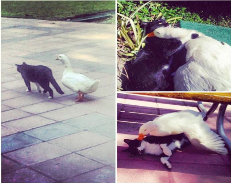 This cat and this duck live at a University campus together and are friends. :') So cute!
