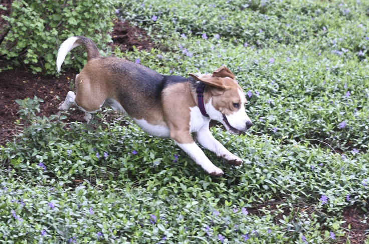 Beagle jumping mothers day classic learning photography