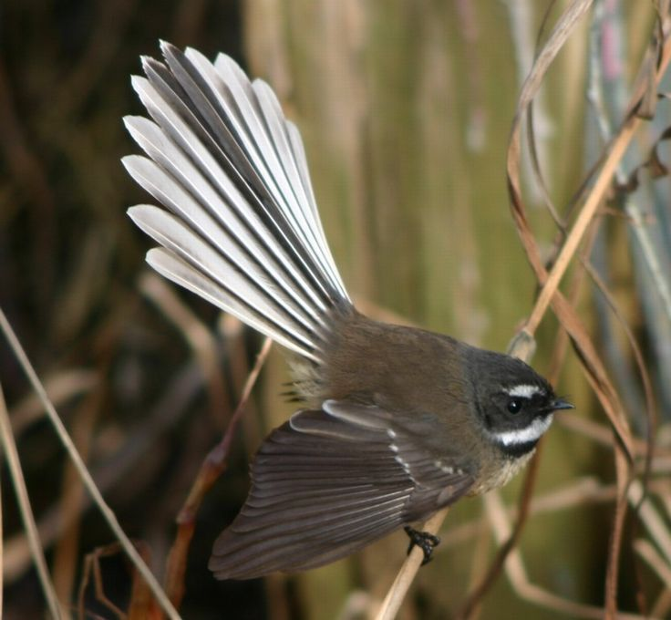 Fantail In Maori mythology the piwakawaka is a messenger, bringing death or news of death from the gods to the people. The bulbous eyes and erratic flying behaviour of the bird is attributed to it being squeezed by Maui for not revealing the whereabouts of Mahuika, the fire god.