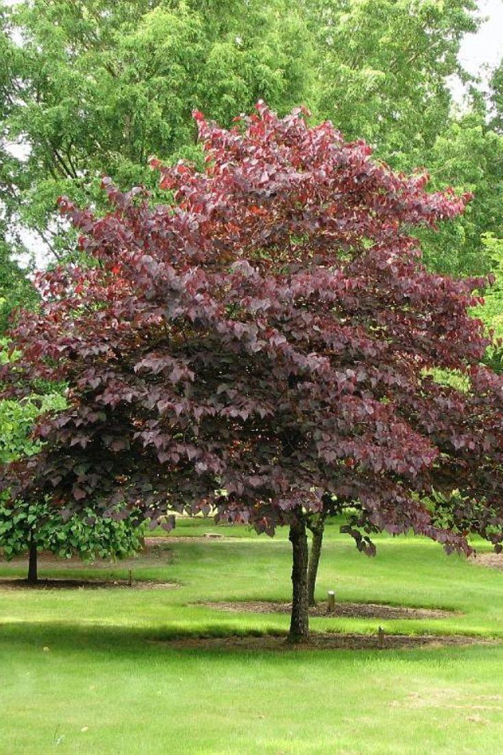 121 best Flowering & Ornamental Trees images on Pinterest | Green ...