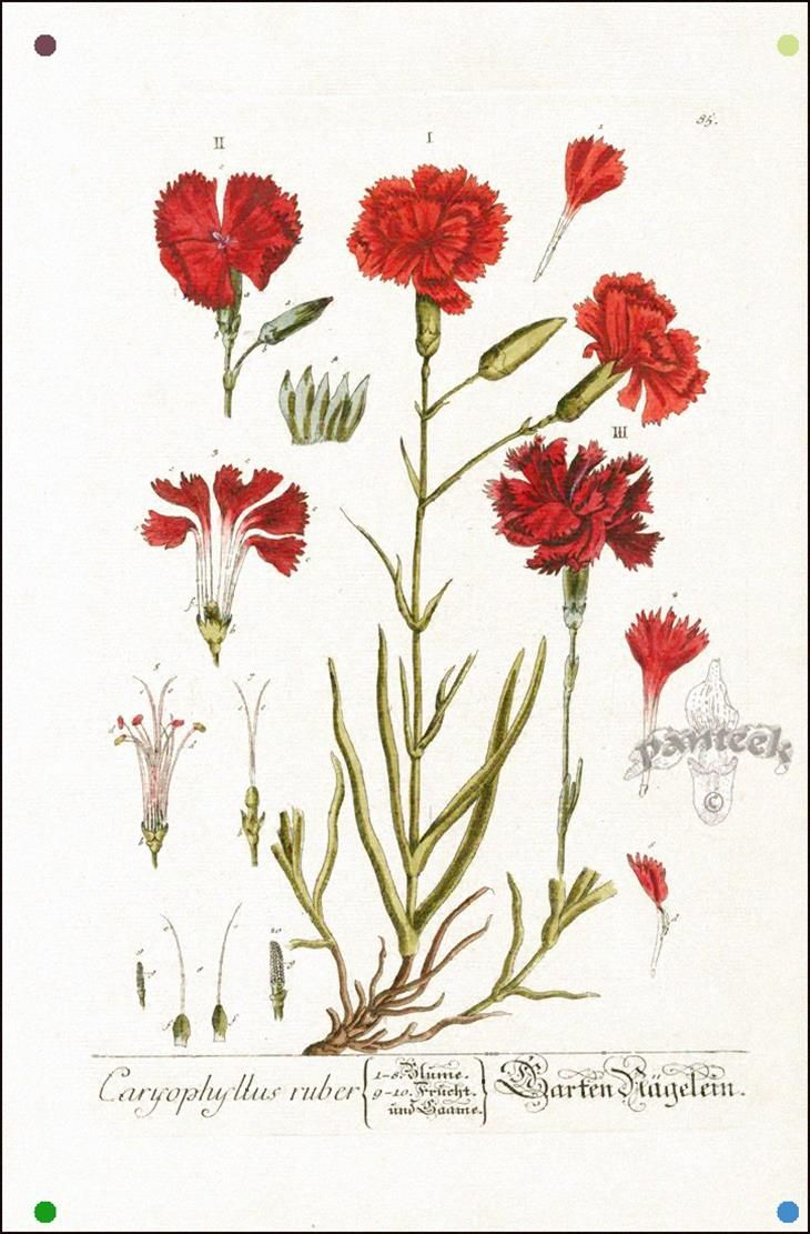 Carnation Elizabeth Blackwell Curious Herbal Prints 1757 In 2020 Botanical Drawings Flower Drawing Vintage Botanical Prints