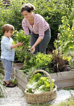 Récolte des salades