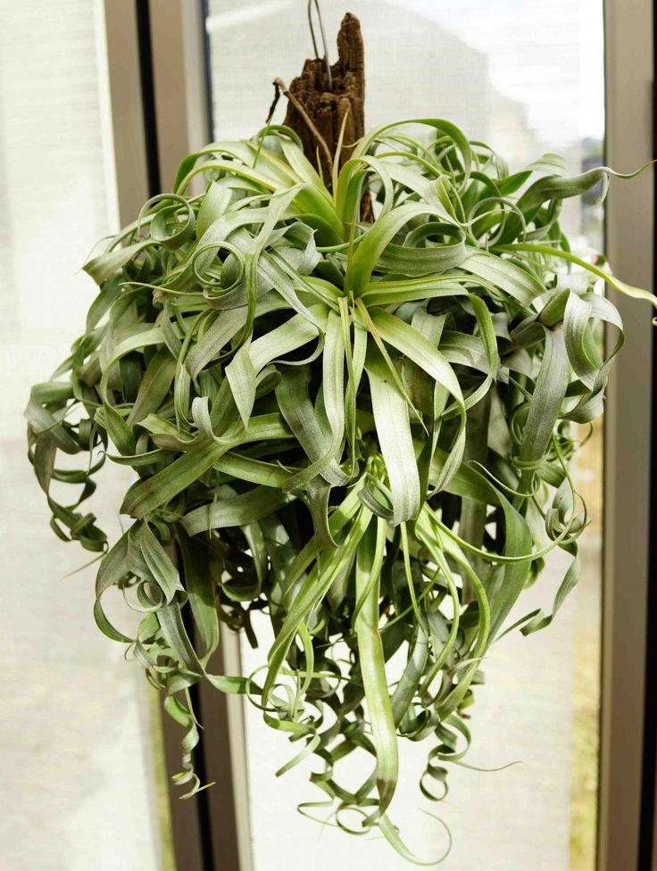 エアープランツ ・チランジア・ストレプトフィラ Tillandsia Streptophylla - s-tillandsia