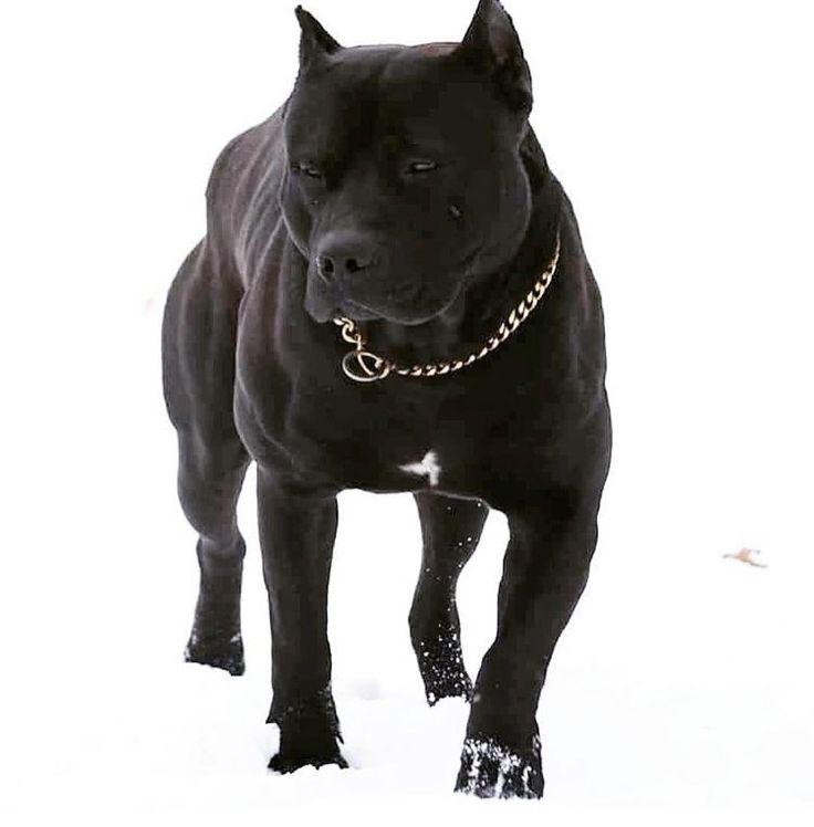 #pitbull