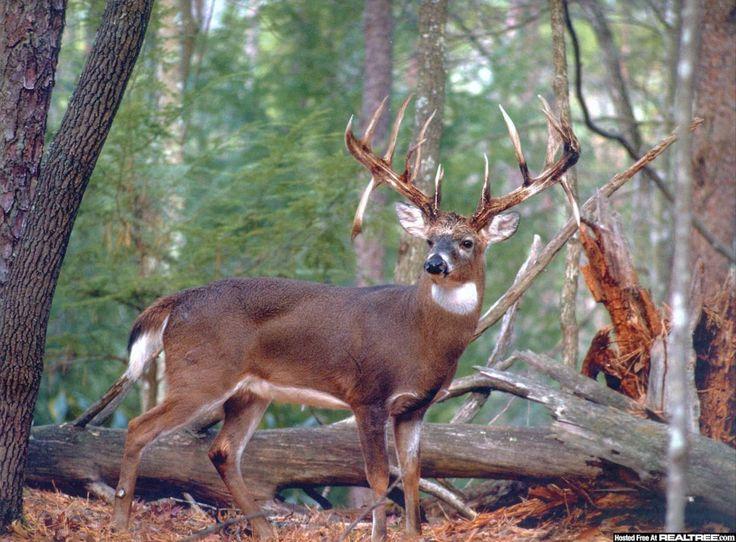 111 best hobbies images on pinterest deer hunting elk hunting and monster buck deer google search voltagebd Images