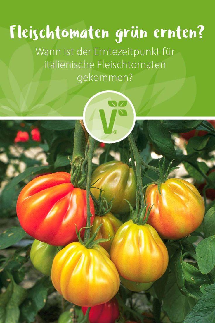 Tomaten Grün Ernten