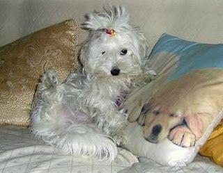 PEDRO HITOMI OSERA: Menores cães: 20 raças de porte pequeno
