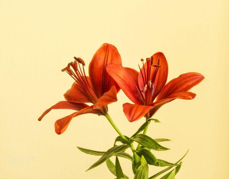 Lily... - Zambak (Lily) Zambak, zambakgiller (Liliaceae) familyasının Lilium cinsinden genellikle soğan ile üreyen mevsimlik çiçekli bitkilerin adıdır. Zambakgiller familyasında bu cinse ait 110 civarında bitki türü vardır. Genellikle bahçe ve süs bitkisi olarak kullanılır, bazı soğanlı türleri de insanlar tarafından yenilebilir. Bu cinse ait zambak türü asıl zambaktır, isminde zambak geçen başka bitkilerde olmasına rağmen onlar diğer gruplara aittir. Zambak bitkisinin çiçekleri kimi ülke…