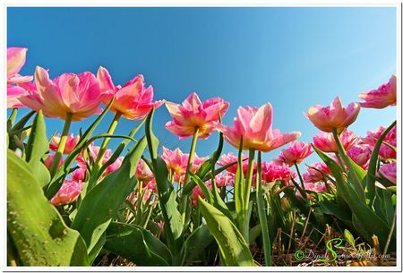 Pink Tulips Photo by Dipali S. -- National Geographic Your Shot