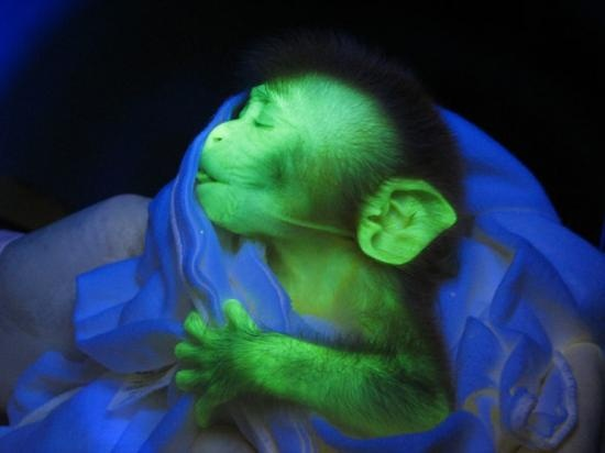 This is a real monkey. I find it strange, injected with jelly fish dna to carry the glow in the dark protein. Weird science I say.