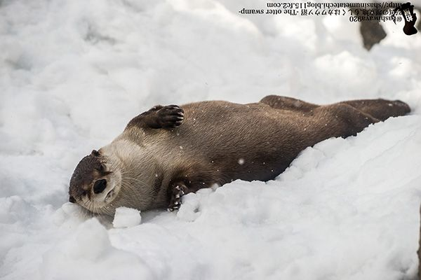 Otter lounges in the snow - December 18, 2015