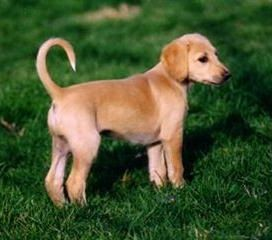 Saluki Puppy