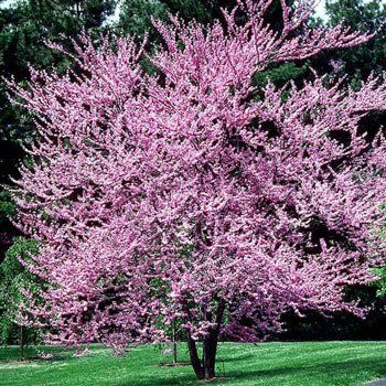 Dogwood Trees Pink Flowering Tree For Fast
