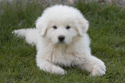 great pyrenees puppy ♥