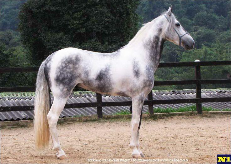 that color!! wow! Emblemático da Conquista - Mangalarga Marchador horse