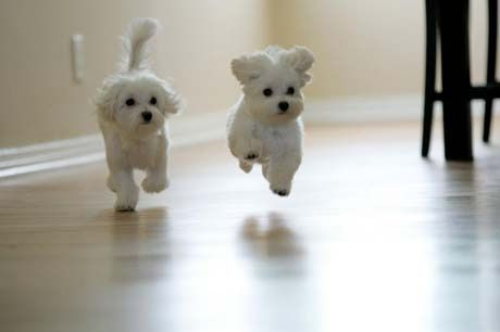 I want white little dogs like this! LIKE NOW!!!