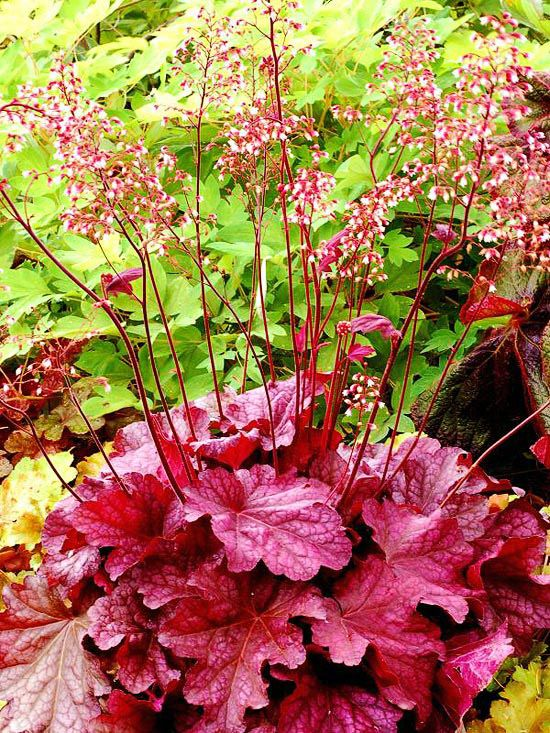 Coralbells (Heuchera) _ while the wild and multi colored leaves have made this plant popular, the old fashioned green leaved varieties tend to be more reliably perrenial in the garden.