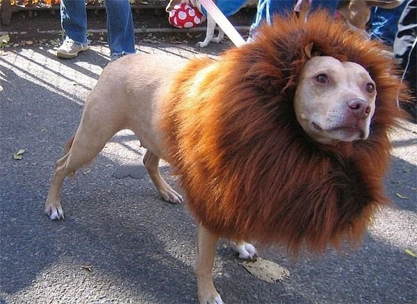 Make a DIY lion's mane for your dog to wear on Halloween with an old collar and a werewolf mask.