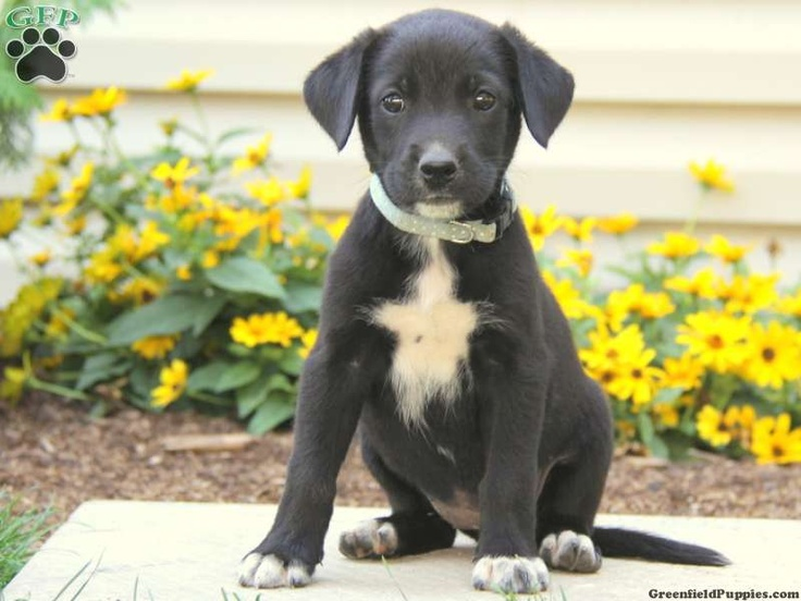 Black cattle dog lab mix