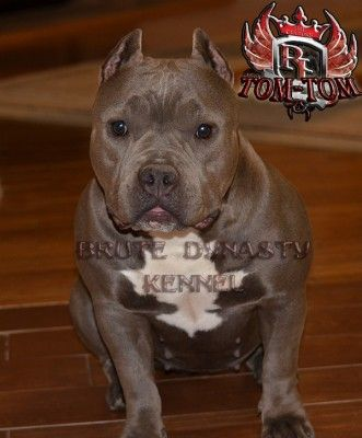 Blue Nose American Bully Pitbull Puppies For Sale Breeder Located