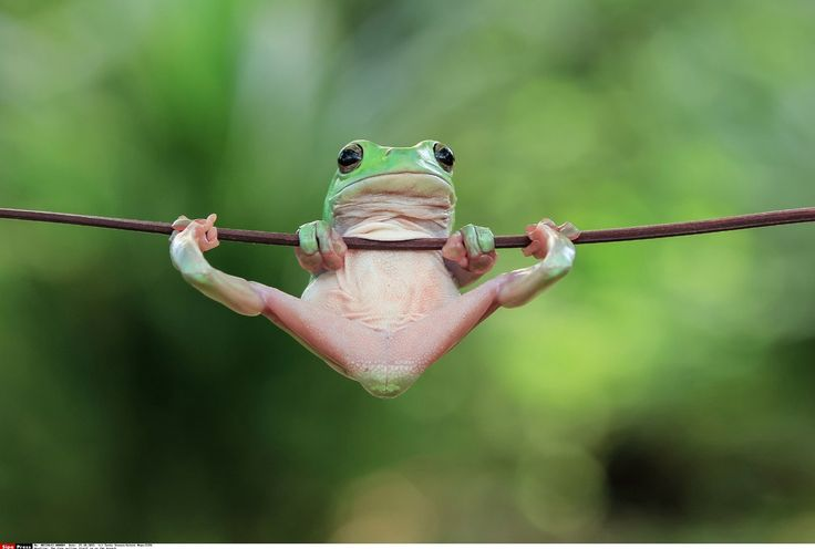 Jakarta Indonésie: La grenouille acrobate de @yensen_tan  The frog pulling itself up on the branch. This tiny frog looks as though he is putting on a gymnastics performance as he clings onto a branch with his hands and feet striking an impressive pose. The Tree Frog uses the slender branch like a bar holding his weight with his front hands and almost doing the splits with his spindly legs. The light green amphibian grips the branch tightly with fingers and toes showing his pink underbelly…