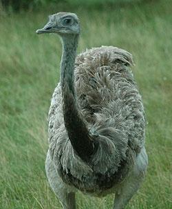 rhea bird -