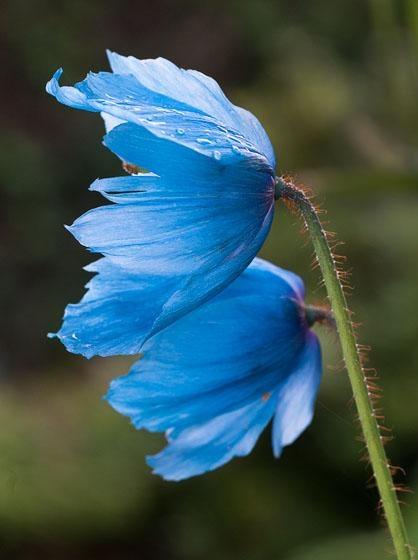 Himalayan Blue Poppy (Meconopsis) 'Lingholm'