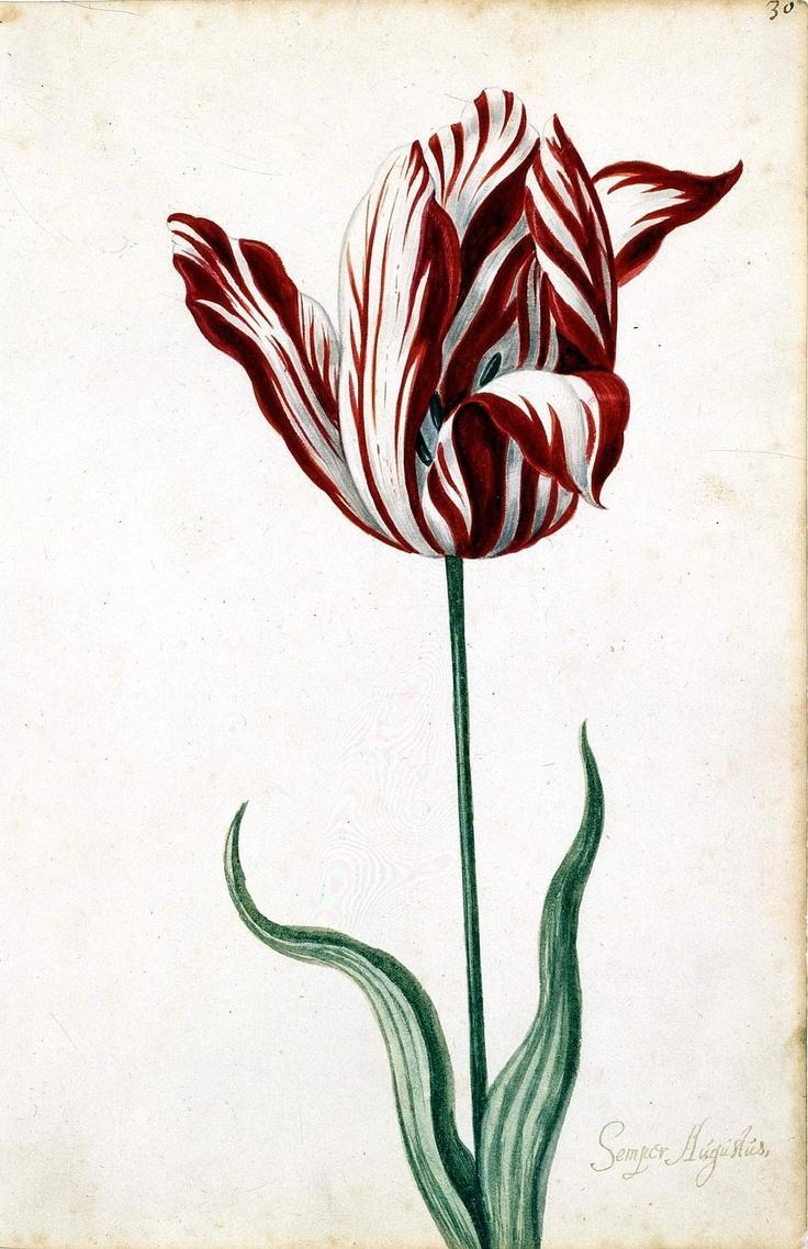 17th Century tulip