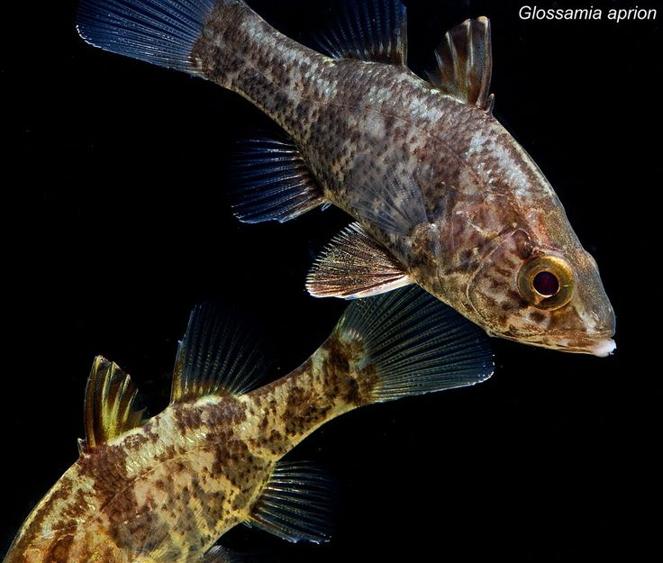 17 best images about freshwater fishes on pinterest for Big freshwater aquarium fish