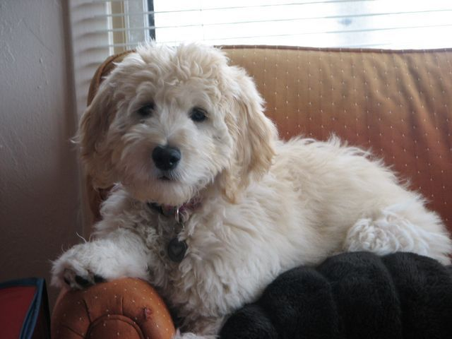The following are pictures of Goldendoodles that we've sold over the years. There's a variety of sizes from the really large Standard Goldendoodle down to the very small Toy Goldendoodle. To see more...