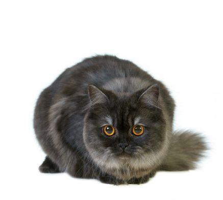 Koty.pl : Rasy kotów, Rasa kotów / Katalog ras / Kot brytyjski długowłosy