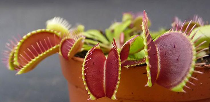 "Atrapamoscas de Venus ""Dionaea muscipula"", planta carnívora cultivada por Plantas Carnívoras España http://www.jardindeplantas.com/portada/2014-08-25"