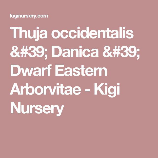 Thuja occidentalis ' Danica ' Dwarf Eastern Arborvitae - Kigi Nursery