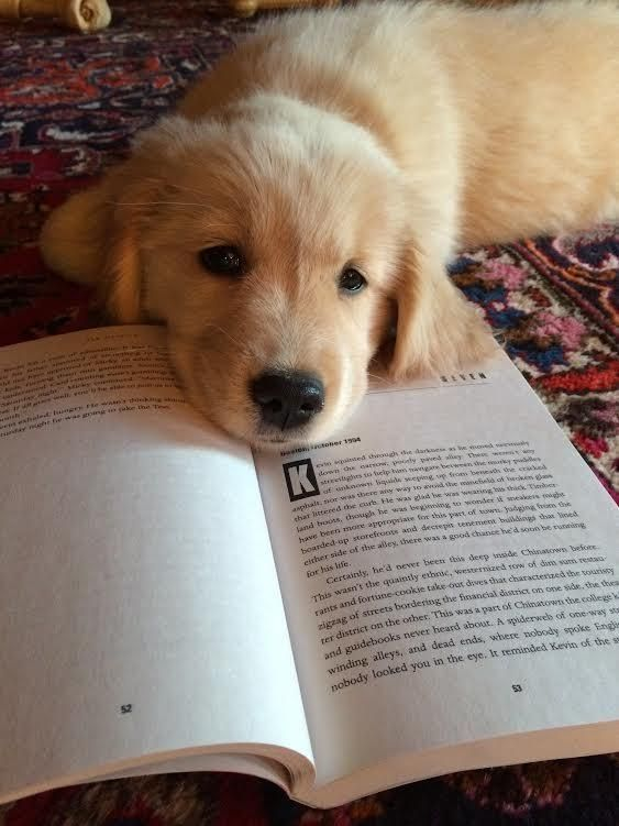 A Golden Retriever who looks like he wants someone to read to him.
