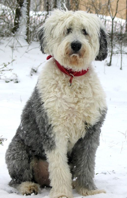 Sammy Old English Sheepdog In Virginia Snow Old English Sheepdog English Sheepdog Old English