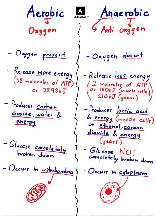 1000 ideas about anaerobic respiration on pinterest electron  : anaerobic respiration diagram - findchart.co