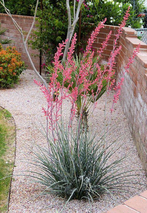 Hesperaloe parviflora: Redflower False Yucca / Red Yucca